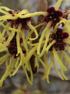Winterblühender Zierstrauch: Frühlingszaubernuss