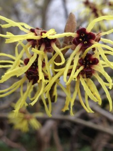 Frühlingszaubernuss: Gelbe Blüten mit dunkelrotem Kelch