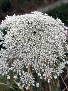 Eine einzige schwarze Blüte inmitten der weißen Blütendolde: Hierbei handelt es sich um die Wilde Möhre (Daucus carota).