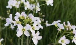 Pflanze des Monats:<br>Wiesen-Schaumkraut (Cardamine pratensis)