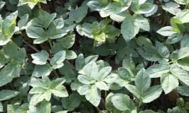 Pflanze des Monats:<br>Giersch (Aegopodium podagraria)