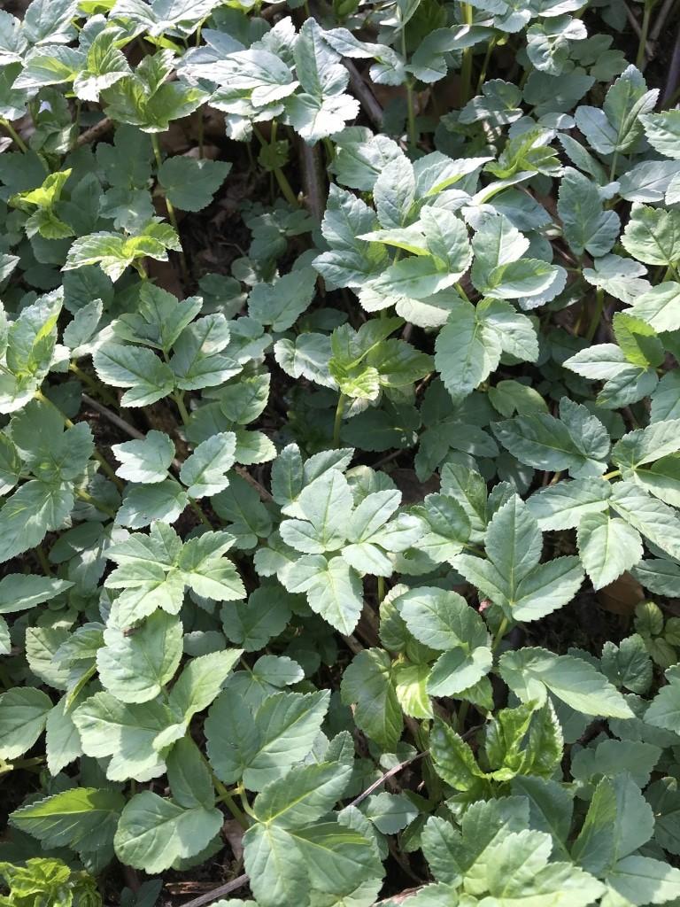 Giersch (Aegopodium podagraria) ist eine der vitaminreichsten essbaren Wildpflanzen.