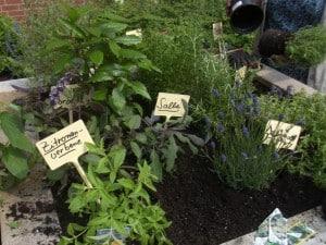 Bepflanzung des Kräuterhochbeetes mit Zitronenverbene, Salbei und Lavendel.