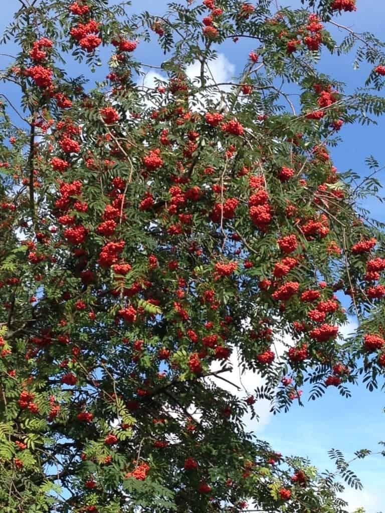 Nach einer alten Bauernregel ein Omen für einen kalten Winter: Die Vogelbeere (Eberesche) hängt überreich voll mit Früchten.