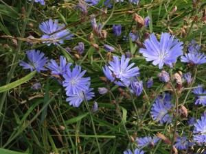 Wegwarte (Cichorium intybus) mit blauen Blüten