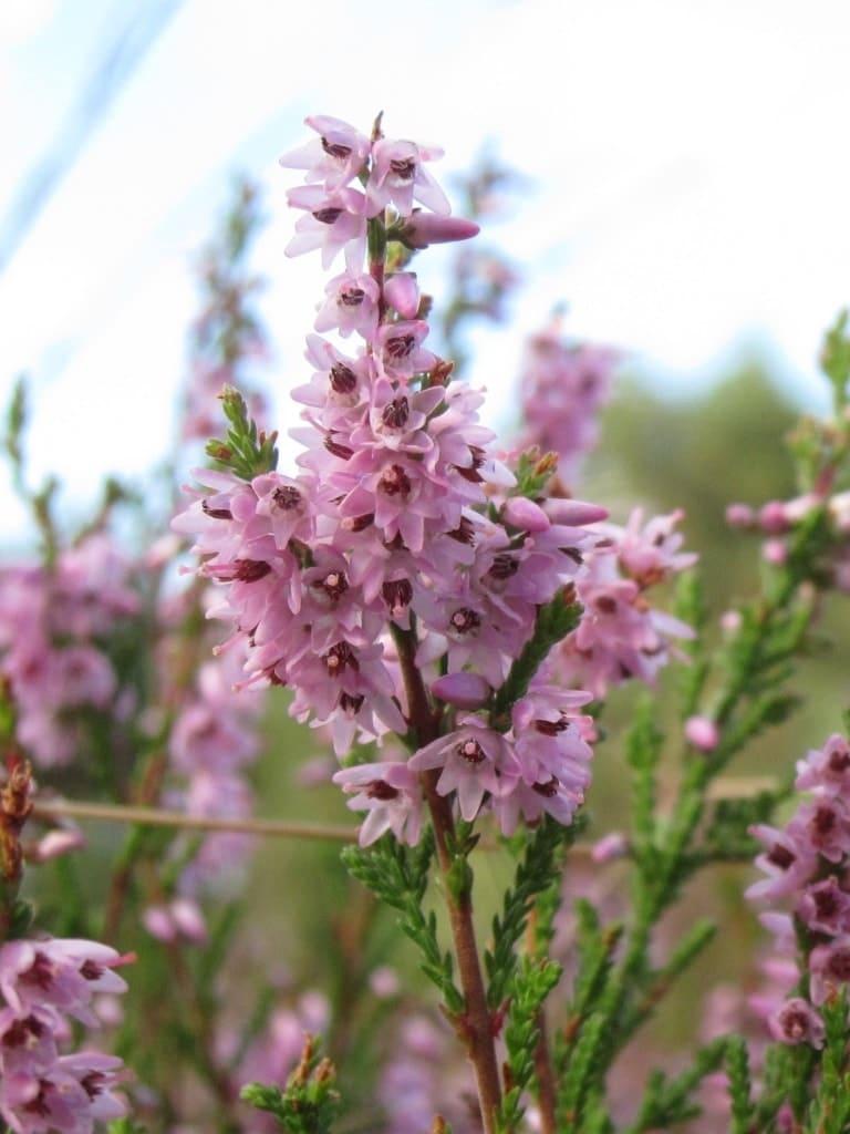 Großaufnahme Heidekrautblüten (Calluna vulgaris)