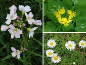 Wiesenschaumkraut - Schöllkraut - Gänseblümchen - heimische Heilpflanzen und Wildkräuter