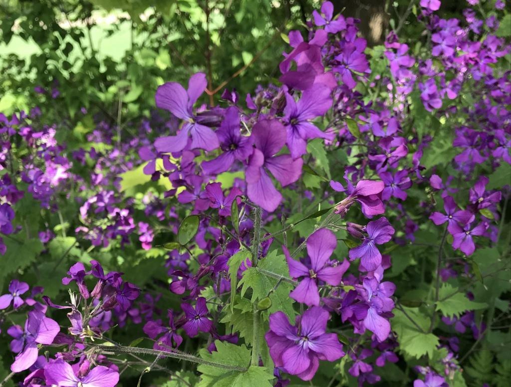 Blühende Mondviolen (Lunaria annua)