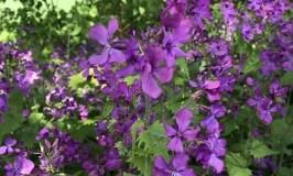 Pflanze des Monats:<br>Mondviole (Lunaria annua)