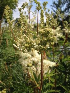 Blühendes Mädesüß (Filipendula ulmaria)