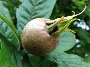 Mispelfrucht in Großaufnahme