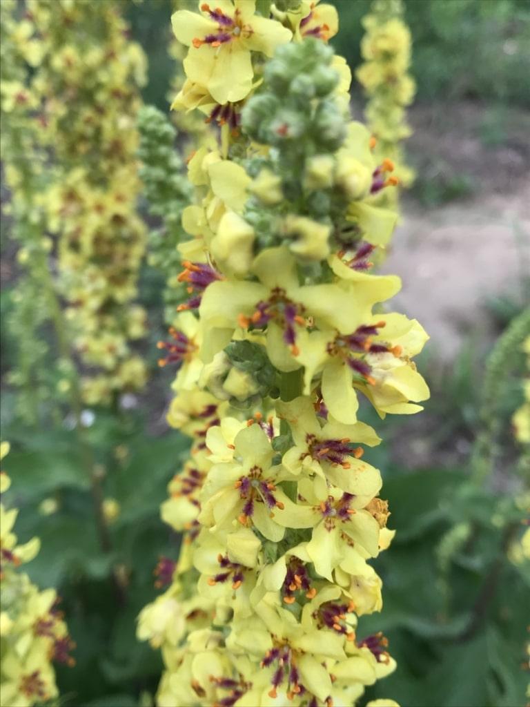 Der dunkelrote Pollen der Schwarzen Königskerze dient blütensuchenden Insekten als Nahrung.