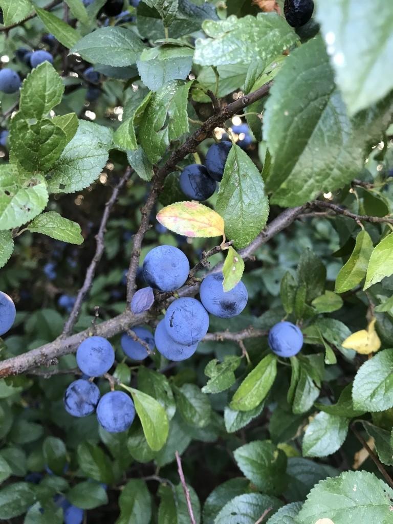 Schlehe (Prunus spinosa) mit Früchten