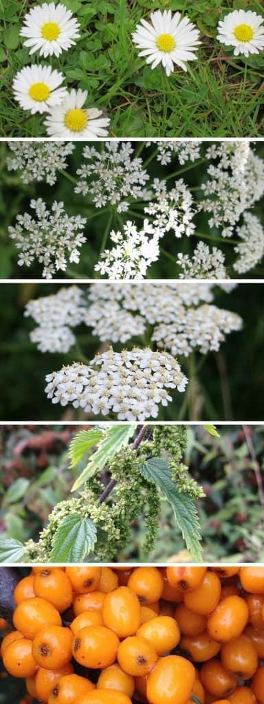 Sammelkalender Wildkräuter und Heilpflanzen: Gänseblümchen - Gierschblüten - Schafgarbenblüten - Brennnesselfrüchte - Sanddorn