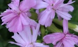 Seifenkraut (Saponaria officinalis) mit Blüten