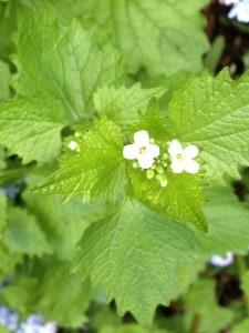 Blüten der Knoblauchsrauke